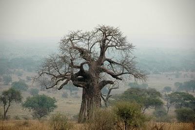 20100407194004-baobab.jpg