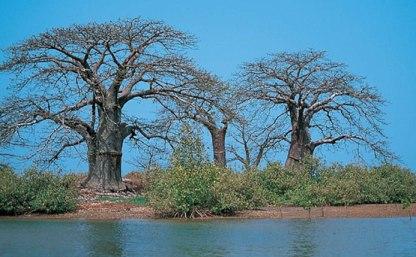 20120217114853-baobab.jpg